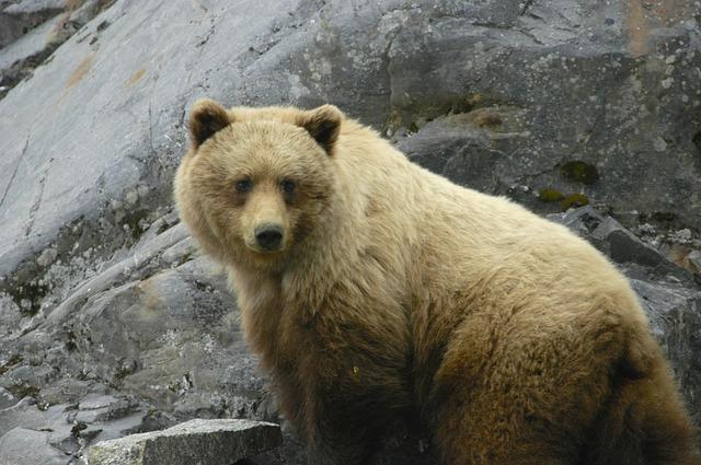 medvěd hnědý